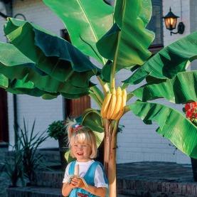 Dwarf Cavendish Banana Plant Already Smart Gardening